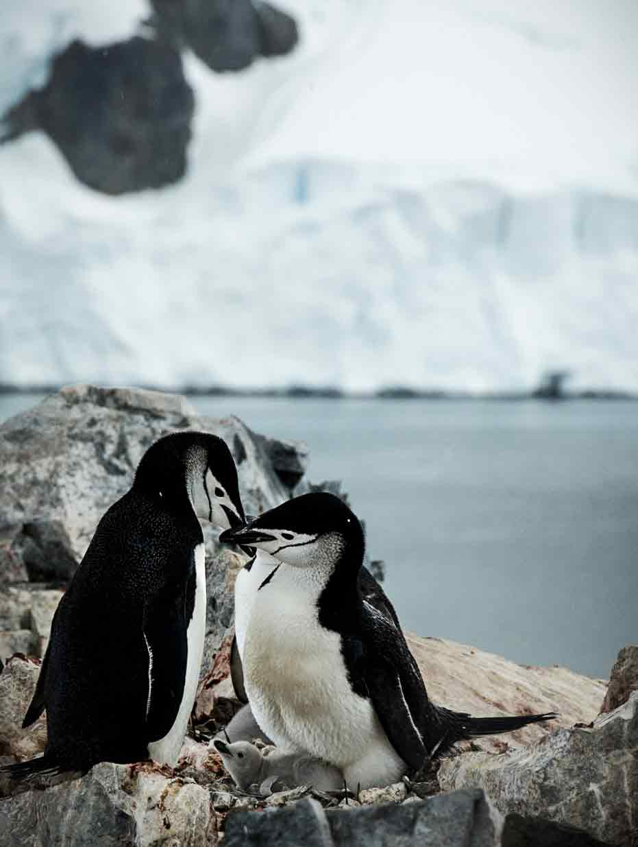 The Chinstrap Penguins